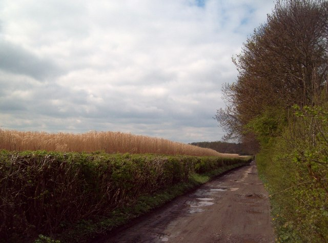 Lane next to a Field of Elephant Grass