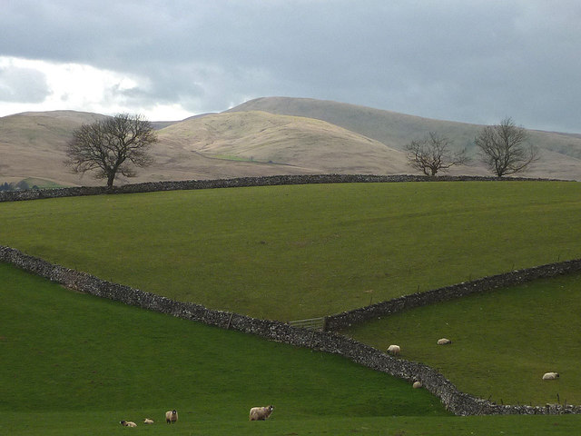 Sheep and drystone walls near Lytheside Farm