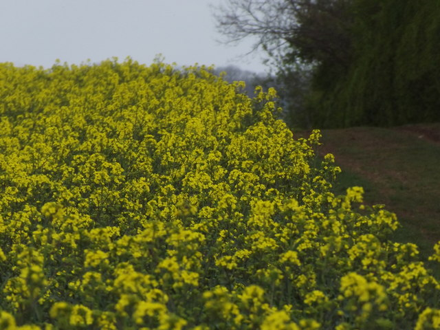 Oilseed Rape in Bloom, Upton Grey