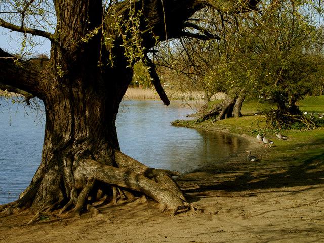 Old Mereside Tree