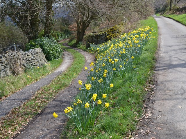 Daffodils at road junction in the hamlet of Leam