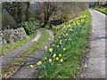 SK2379 : Daffodils at road junction in the hamlet of Leam by Neil Theasby