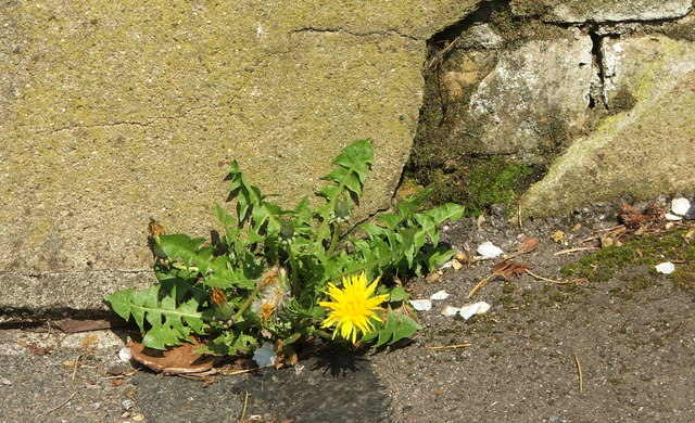 Dandelions grow Anywhere