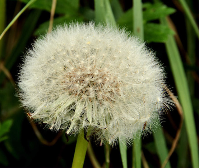 Dandelion seeds, Minnowburn, Belfast