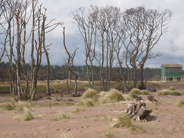 Dead trees on Tentsmuir Sands