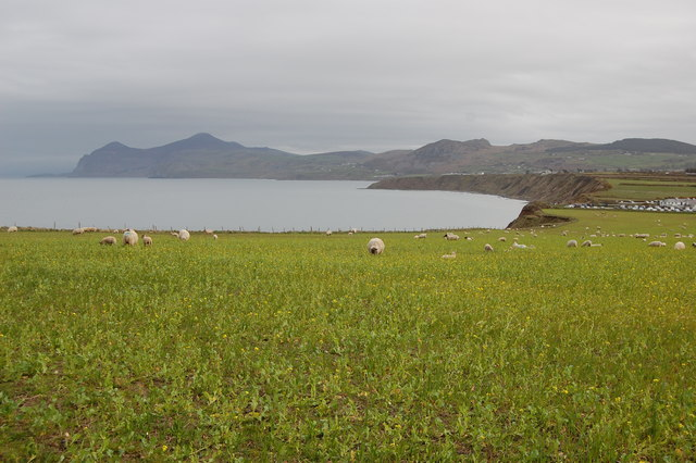 Field of sheep at Morfa Nefyn