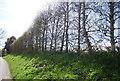 TQ6055 : Shelterbelt by Crowhurst Lane by N Chadwick