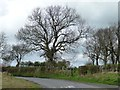 NZ1547 : Large tree alongside Newbiggin Lane by Christine Johnstone