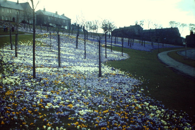 Crocuses, Stonehaven Road