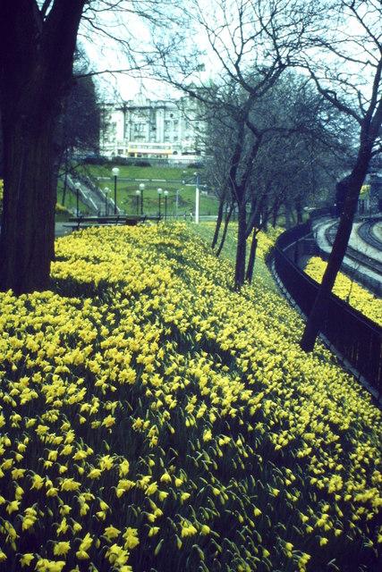 Daffodils, Union Terrace Gardens