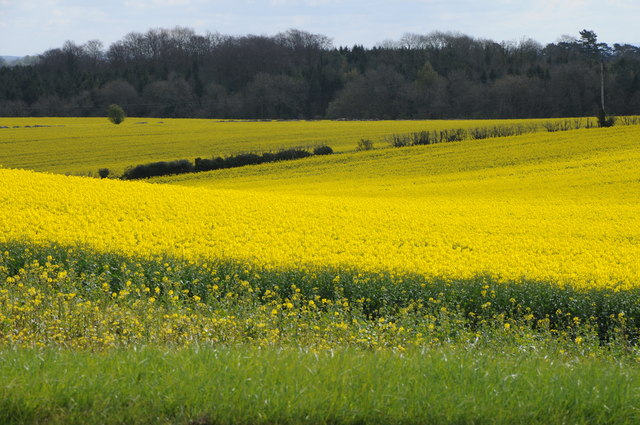 Oilseed rape near Tiltups End