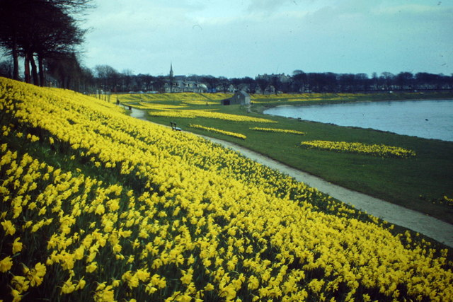 Daffodils by the Dee
