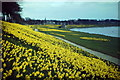 NJ9304 : Daffodils by the Dee by Colin Smith