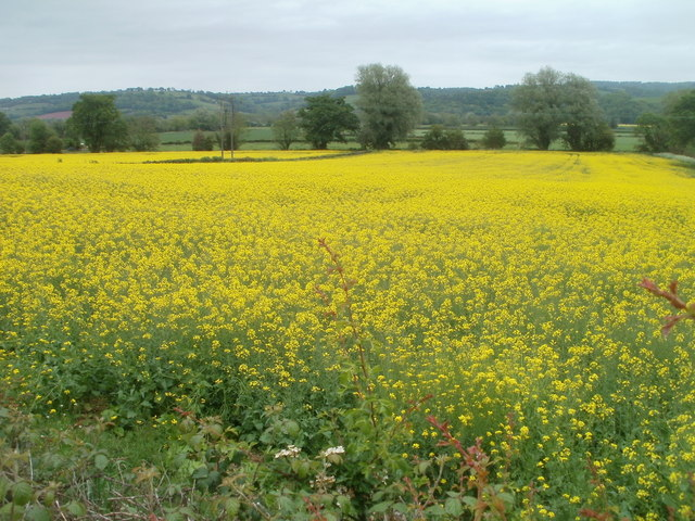 Field of oilseed rape near Llandowlais