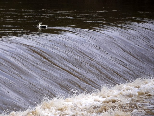 Male Eider Duck paddling hard above the River Coquet weir