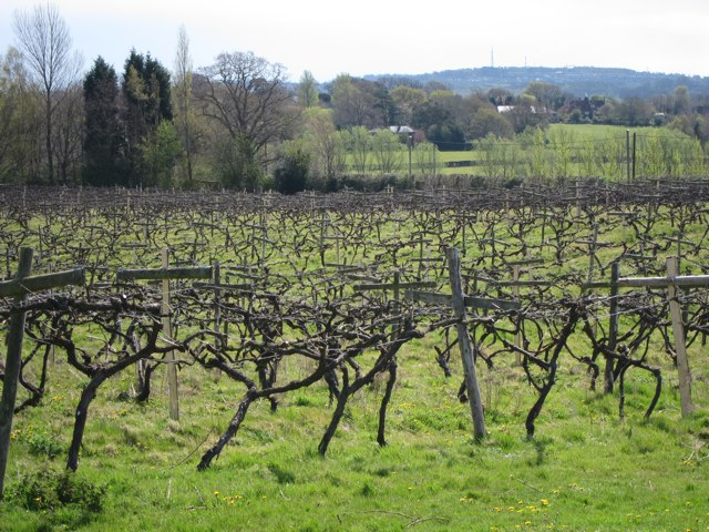 Grape vines at Carr Taylor Vineyard