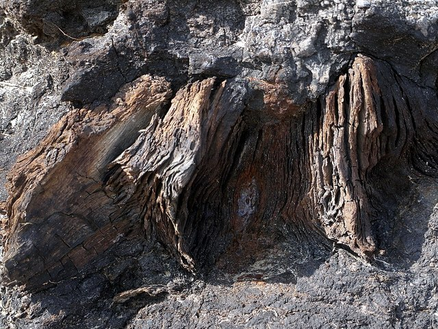 Tree trunk remains in ancient peat, Low Hauxley shore