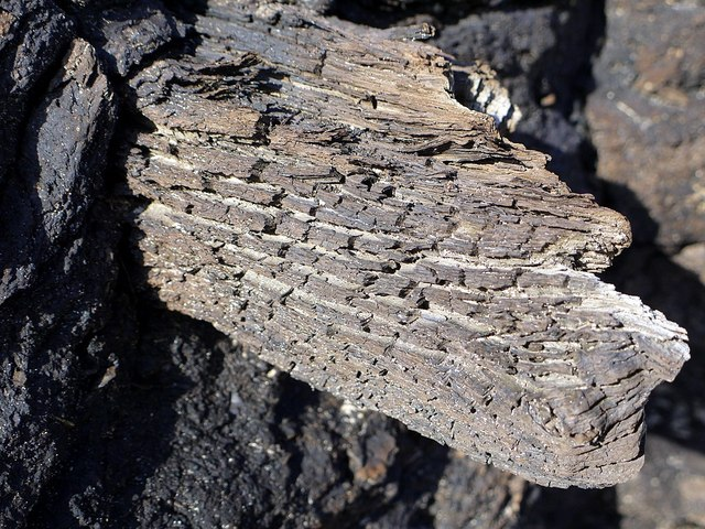 Wood remains in ancient peat, Low Hauxley shore