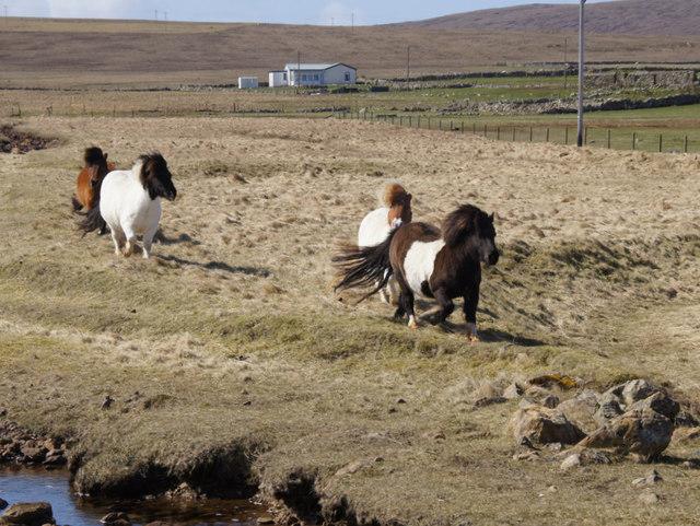 Shetland Ponies at Baltasound