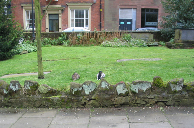 Ducks in St Michael's churchyard
