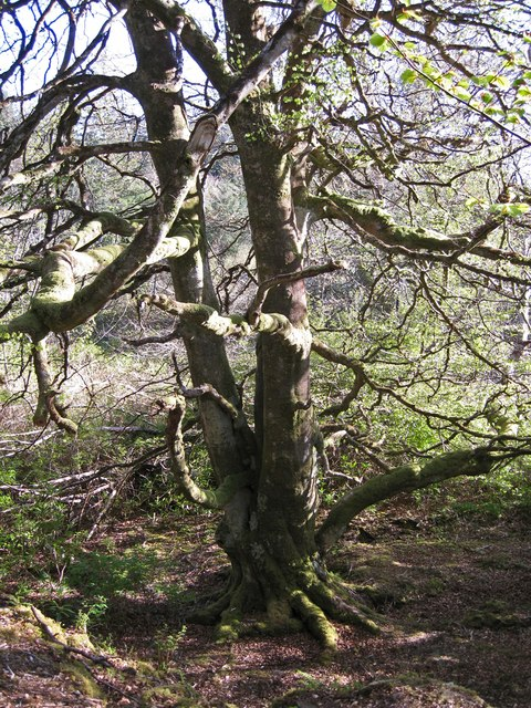 Beech tree in Dunvegan woods