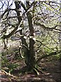 NG2548 : Beech tree in Dunvegan woods by Richard Dorrell