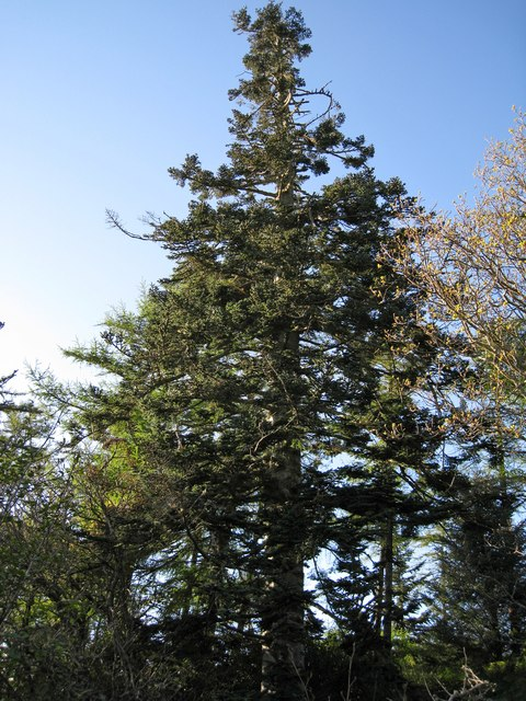 Fine pine