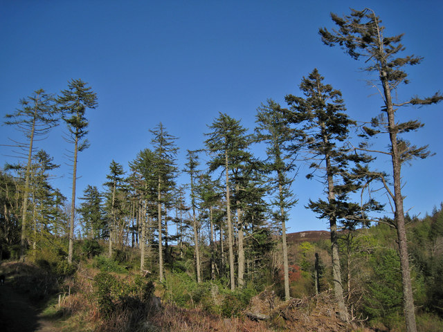 Pine trees and a cloudless sky