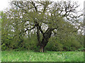 TQ4693 : Oak on the edge of the wood by Roger Jones