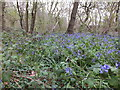 SO9194 : April Bluebells by Gordon Griffiths