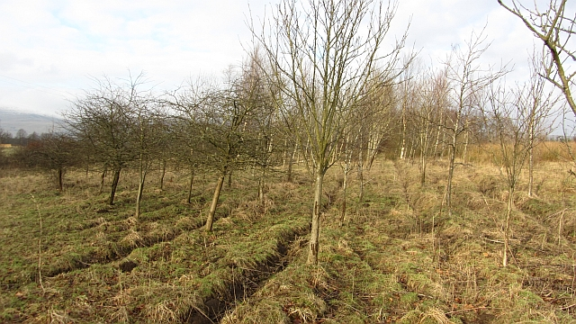 New woodland, Cadger Mill Wood