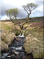 SX5485 : Lone tree by Doetor Brook : Week 17
