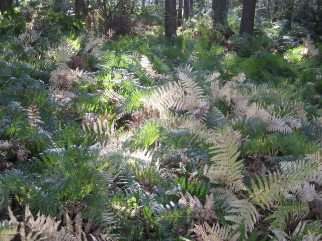 Ferns in autumn, May's Wood
