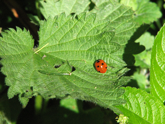Ladybird on nettle in Littly Wood, Ousden
