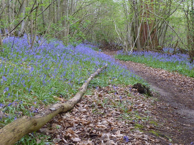 Bysing Wood bluebells