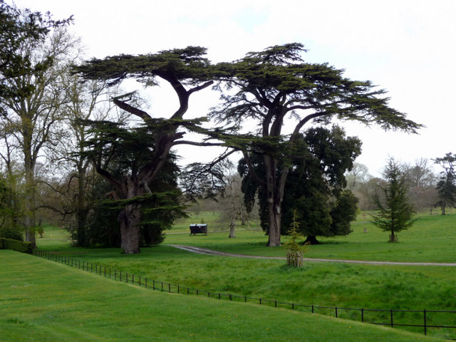 Cedars of Lebanon, Kingston Lacy, Dorset