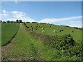 TL3952 : Harlton: hillside herd by John Sutton