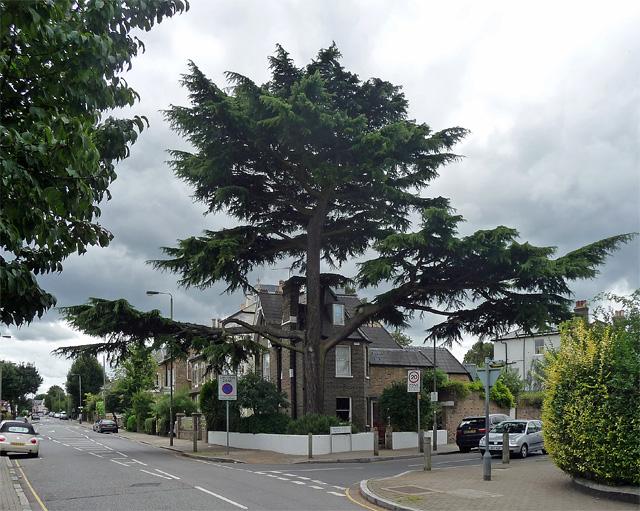 Cedar, St James's Drive