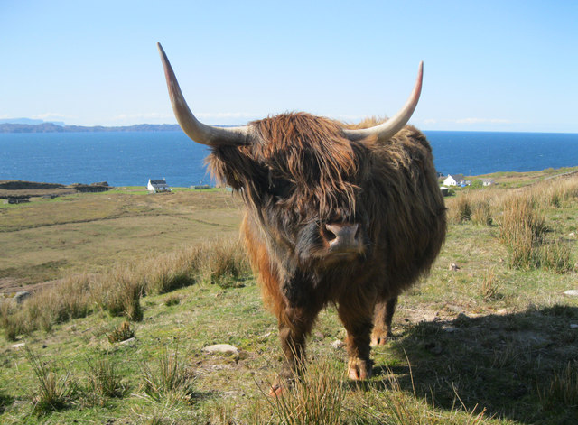 Highland cattle at Kalnakill