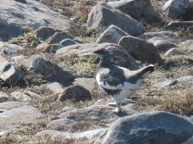 Ptarmigan in changing plumage