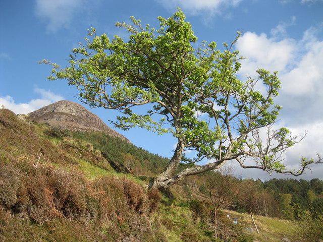 Ben Shieldaig with hawthorn tree