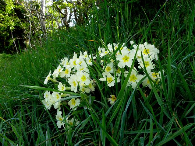 Primroses, Cloneblaugh