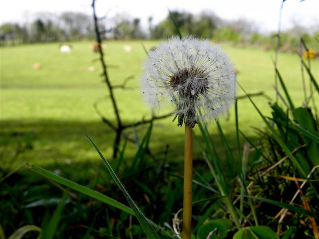 Dandelion, Knockmany Forest