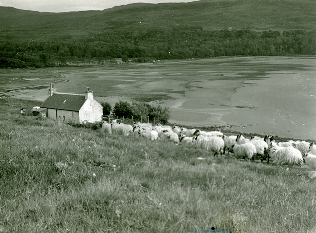 Sheep at Cruarg
