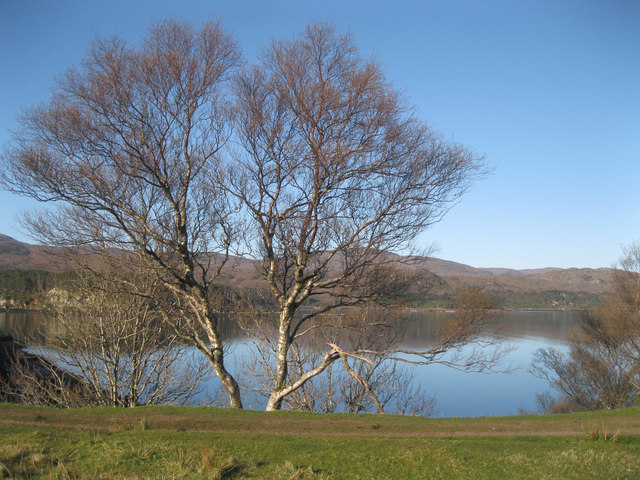 Silver birch trees above Loch Shieldaig