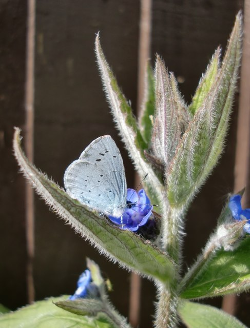 Holly Blue butterfly on Green Alkanet, West Molesey