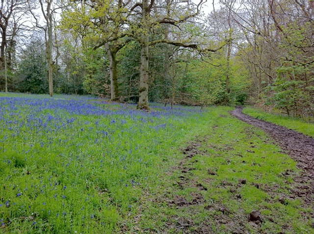 Bluebells near Ranmore church