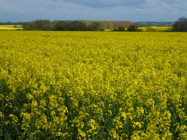 Rape fields south of Burghley Park, Stamford