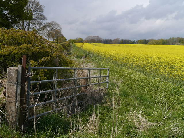 Oil Seed Rape Near Gordonbank