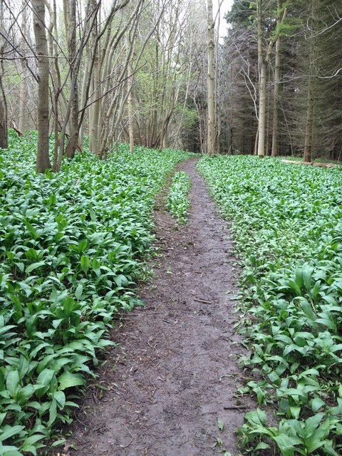 Path through the wild garlic, Ox Carr Woods